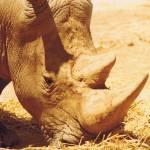 """""""Rhino Love"""" by crazyabouthercats"""