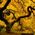 """Golden Japanese Maple"" by boppintheblues"