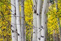 Colorful Autumn Aspen Tree Colonies