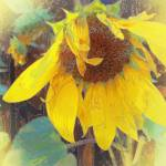 """Old Sunflower Bowing"" by artistfaye"