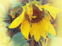 Old Sunflower Bowing
