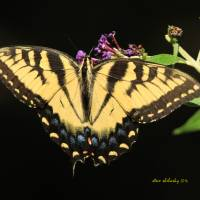 Eastern Tiger Swallowtail Art Prints & Posters by Steve Shelasky