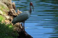 American White Ibis on a Lakeshore
