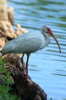 American White Ibis Next to a Lake