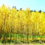 """Yellow autumn aspens"" by lizmix"