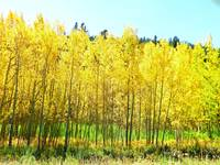 Yellow autumn aspens