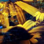 """black-eyed susans"" by christopherevans"