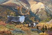 Wildlife Art - Caribou