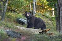 Wildlife Art - American Black Bear