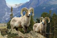 Wildlife Art - Rocky Mountain Bighorn Sheep