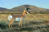 Wildlife Art - Pronghorn Antelope