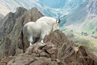 Wildlife Art - Rocky Mountain Goat