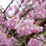 """Blossoms Pink Art prints Pink Tree Flowering Sprin"" by BasleeTroutman"