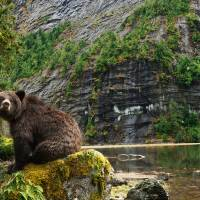 Great Bear Art Prints & Posters by Ian McAllister