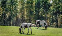 Painted Horses in Autumn