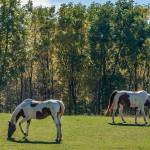 """""""Painted Horses in Autumn"""" by EvesNature"""