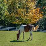 """""""Painted Horse in Autumn"""" by EvesNature"""