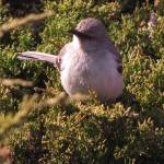 """20140517_1569 Mockingbird 2"" by outdoorsintheeast"