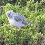 """20140517_1571 Mockingbird 3"" by outdoorsintheeast"