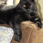 """IMG_3656 Black Cat in Repose"" by outdoorsintheeast"