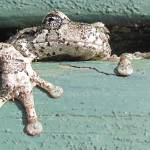 """20140517_1688 Toad 1"" by outdoorsintheeast"