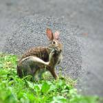 """IMG_3759 Rabbit Scratching"" by outdoorsintheeast"