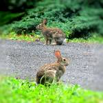 """IMG_3758 Rabbit Pair"" by outdoorsintheeast"