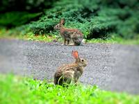 IMG_3758 Rabbit Pair