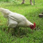"""IMG_6854 Rooster 2"" by outdoorsintheeast"