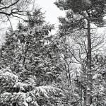 """IMG_3216 Towering Trees in Snowfall"" by outdoorsintheeast"