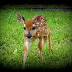"""The Curious Fawn_DSC0385-001"" by photographybydonna"
