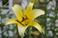 The Yellow Lily_DSC0381-001