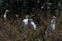 Cattle Egrets in a Pasture