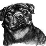 """Rottweiler 2"" by frrittenhouse"