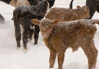 Calves in The Snow
