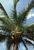 Coconut Palm Tree