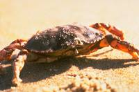 Crab on The Beach Photograph