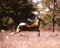 White-Tail Deer Running
