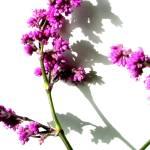 """""""Hadrodemas warszewiczianum"""" by lilacwhispers"""