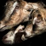 """""""Three Goats"""" by maxblack"""