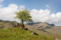 Lonely Tree-Glenshiel-Scottish Highlands.