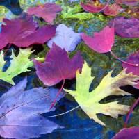 Leaves in a Birdbath Art Prints & Posters by Mike Solomonson