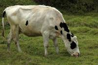 White Cow With Black Spots