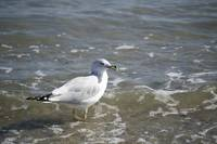 Seagull and Sand Crab