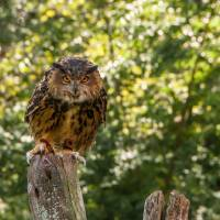 Eurasian Eagle Owl Art Prints & Posters by Anthony L. Sacco