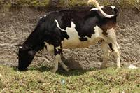 Holstein Cow and Adobe Wall