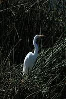 Great White Heron in Reeds