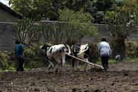 Plowing a Field With Oxen