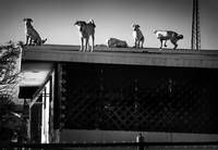 dogs on the roof