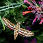 """Hummingbird Moth 1"" by scubagirlamy"